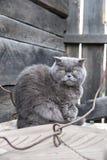 Grijze kat met gele ogen Royalty-vrije Stock Fotografie