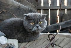 Grijze kat met gele ogen Stock Fotografie