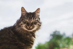 Grijze kat met groen ogenclose-up royalty-vrije stock foto