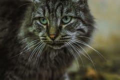 Grijze kat met groen ogenclose-up royalty-vrije stock afbeelding