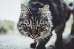 Grijze kat met groen ogenclose-up stock foto's
