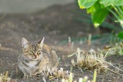 Grijze kat met groen ogenclose-up royalty-vrije stock foto's