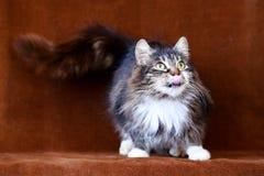 Grijze kat met grote ogen Stock Fotografie