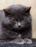 Grijze kat met oranje ogen Stock Foto
