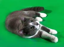 Grijze kat met witte vlekken die op groen liggen Royalty-vrije Stock Foto