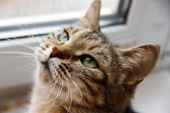 Grijze kat op de vensterbank stock afbeelding