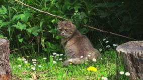 Grijze kat in weide in de zomer stock footage