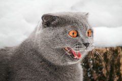 Grijze katten kwade mond Royalty-vrije Stock Foto