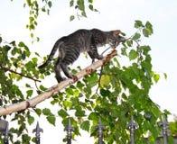 Grijze katten op de dunne tak van de besnoeiingsberk Royalty-vrije Stock Afbeelding