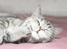 Grijze kattenkras Royalty-vrije Stock Afbeeldingen