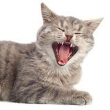 Grijze kattenzitting Stock Foto's