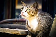 Grijze kattenzitting en omhoog het kijken Royalty-vrije Stock Foto's