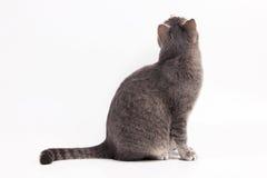 Grijze kattenzitting en omhoog het kijken Stock Foto's