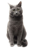 Grijze kattenzitting over witte achtergrond Royalty-vrije Stock Fotografie