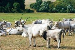Grijze Koeien Royalty-vrije Stock Afbeeldingen