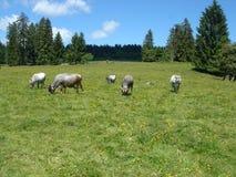 Grijze koeien in de berg royalty-vrije stock afbeelding