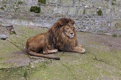 Grijze leeuw Stock Foto's