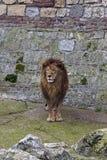 Grijze leeuw 2 Stock Foto's