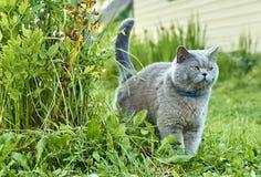 Grijze mannelijke kat die grondgebied merken royalty-vrije stock foto