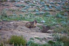 Grijze marmotten bij de ingang aan haar gat Royalty-vrije Stock Foto