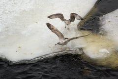 Grijze meeuwen op de rand van het ijs Stock Foto's