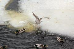 Grijze meeuwen op de rand van het ijs Royalty-vrije Stock Afbeeldingen