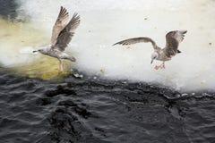 Grijze meeuwen op de rand van het ijs Stock Foto