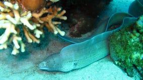 Grijze moray paling, griseus Gymnothorax Stock Afbeeldingen