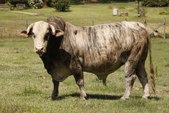 Grijze oude stier Stock Afbeeldingen