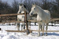 Grijze paarden bij wintertijd Royalty-vrije Stock Afbeeldingen