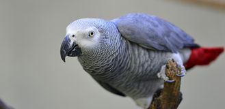 Grijze papegaai Royalty-vrije Stock Afbeelding