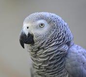 Grijze papegaai Stock Foto's