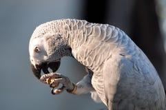 Grijze papegaai onder zonsondergang Stock Fotografie
