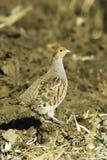 Grijze patrijs in natuurlijke habitat/Perdix perdix royalty-vrije stock fotografie
