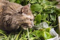 Grijze pluizige kat die installaties eten royalty-vrije stock fotografie