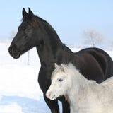 Grijze poney met zwart friesian paard Royalty-vrije Stock Foto