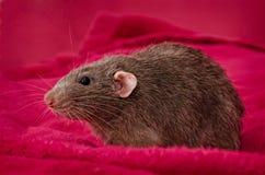 Grijze Rat Stock Afbeeldingen