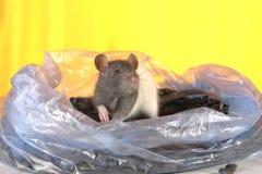 Grijze rat stock foto