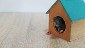 Grijze rat in een blokhuis stock video
