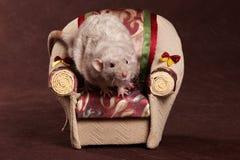 Grijze rat en leunstoel stock fotografie