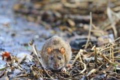 Grijze rat met leuke snuit royalty-vrije stock afbeeldingen