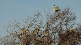 Grijze reiger, aquatische vogels op nestboom, dierlijk gedrag in de habitat van de aardboom, westelijk Europa, het wildscène, nes stock footage