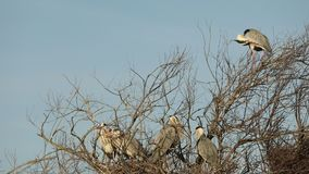 Grijze reiger, aquatische vogels op nestboom, dierlijk gedrag in de habitat van de aardboom, westelijk Europa, het wildscène, nes stock video
