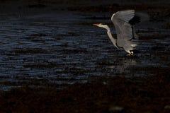 Grijze reiger, cinerea Ardea, de jacht, die vissen, bovendien, een lage pool tijdens grimmig vroeg ochtendlicht in Schotland in o stock afbeeldingen