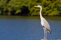 Grijze reiger door het meer Royalty-vrije Stock Foto