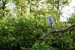 Grijze reiger in een boom Royalty-vrije Stock Foto's