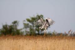 grijze reiger - een mooie jager royalty-vrije stock fotografie