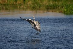 grijze reiger - een mooie jager royalty-vrije stock afbeelding