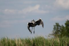 Grijze reiger - een mooie vogel, en een groot vliegenier en een jager stock fotografie
