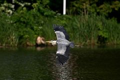 Grijze reiger - een vogel met een slank cijfer met een lange gebogen hals royalty-vrije stock foto
